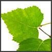 Betulla - principi attivi AKIKO-YO per la cura della pelle del viso