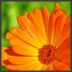 Calendula - principi attivi AKIKO-YO per la cura della pelle del viso