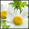 Camomilla - principi attivi AKIKO-YO per la cura della pelle del viso
