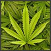 Cannabis - principi attivi AKIKO-YO per la cura della pelle del viso