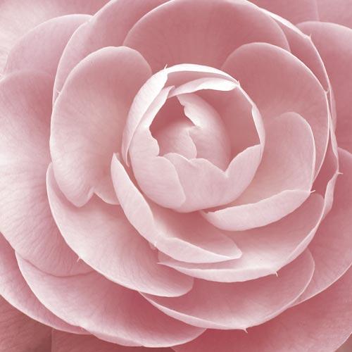 Olio di tsubaki - principi attivi AKIKO-YO per la cura della pelle del viso