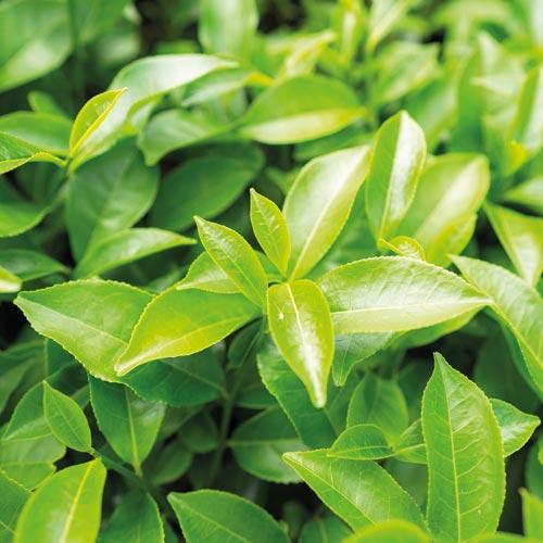 Tè verde - principi attivi AKIKO-YO per la cura della pelle del viso